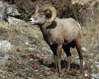 Bighorn Sheep. Shot in Yellowstone National Park in Wyoming Stock Images