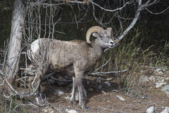 Bighorn Sheep. Shot in Yellowstone National Park in Wyoming Royalty Free Stock Images