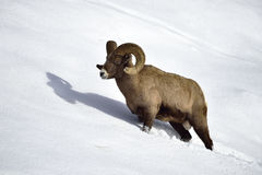 Bighorn sheep in Snow Royalty Free Stock Photography