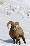 Bighorn sheep in snow slopes. Bighorn sheep in the snow, Yellowstone National Park Stock Photography