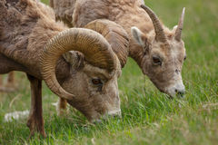 Bighorn Sheep. Standing on grass eating Stock Image