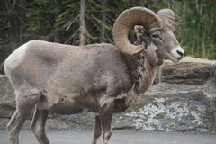 Bighorn sheep Royalty Free Stock Photography
