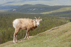 Bighorn Sheep. Standing on the rocks at the rocky mountains Stock Images