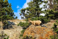 A bighorn sheep stands on the top of a rocky mound royalty free stock photography