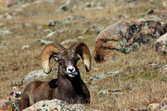 Free Bighorn Sheep Sticking Out Tongue Stock Photo - 45539740