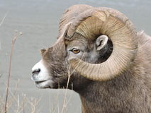 Bighorn Sheep. Taken at at roadside through the mountains in B.C., Canada Stock Photo