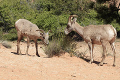 Bighorn Sheep. Two bighorn sheep graze by the east entrance to Zion National Park stock image