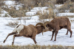 Bighorn Sheep. Two Large Male Rocky Mountain Bighorn Sheep Battling For Mating Rights Royalty Free Stock Image