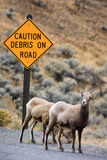 Bighorn Sheep Under Road Caution Sign Royalty Free Stock Photo