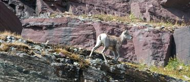 Bighorn Sheep walking on edge of cliff below Clements Mountain on Hidden Lake Pass in Glacier National Park in Montana USA. Bighorn Sheep walking on edge of Stock Photography