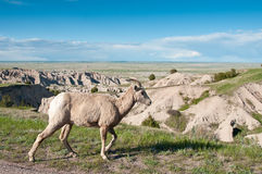 Bighorn sheep walks oblivious to tourists. A single bighorn sheep walks unaware of turists attention, with Badlands National Park landscape in the backgroud Stock Images