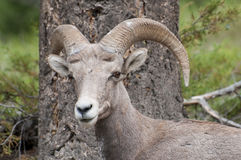 Bighorn Sheep Watching Stock Photography