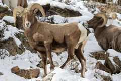 Colorado Rocky Mountain Bighorn Sheep. Bighorn sheep are wild animals in the Rocky Mountains of Colorado Royalty Free Stock Photography