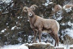 Colorado Rocky Mountain Bighorn Sheep. Bighorn sheep are wild animals in the Rocky Mountains of Colorado Stock Images
