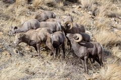 Colorado Rocky Mountain Bighorn Sheep Royalty Free Stock Photography
