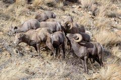 Colorado Rocky Mountain Bighorn Sheep. Bighorn sheep are wild animals in the Rocky Mountains of Colorado Royalty Free Stock Photography