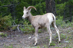 Bighorn Sheep in the Wild Royalty Free Stock Images