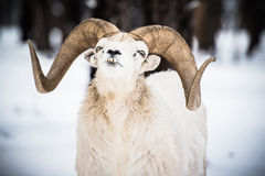 Bighorn Sheep in Winter. Landscape. North American Bighorn Sheep Stock Image