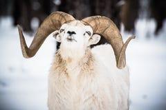 Bighorn Sheep in Winter. Landscape. North American Bighorn Sheep stock image
