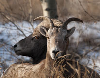 Pair Of Bighorn Sheep In Winter Royalty Free Stock Photos