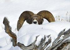 Bighorn Sheep Royalty Free Stock Images