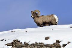Bighorn Sheep Stock Image