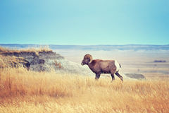 Free Bighorn Sheep With Large Curving Horns In Badlands National Park Royalty Free Stock Image - 86574776