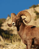 Bighorn sheep in the Wyoming Desert Royalty Free Stock Image