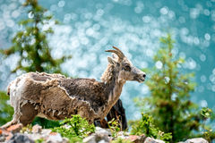 Bighorn sheep (Ovis canadensis) Stock Image
