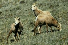 Bighorn Sheep stock image