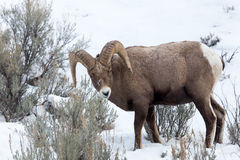 Bighorn Sheep. A bighorn sheep in Yellowstone National Park Stock Photos