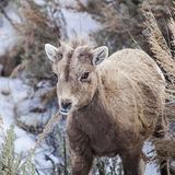 Big Horn Sheep baby. The Bighorn Sheep young ewe maneuvers through the sage brush in the high mountainous terrain of western USA stock photography