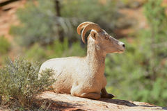 Bighorn Sheep. Young bighorn sheep rests at Zion National Park in Utah royalty free stock images