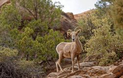 Bighorn sheep in Zion National Park. Bighorn sheep stood in Zion National Park, Utah, USA stock photography