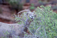 Bighorn Sheep at Zion National Park Stock Images