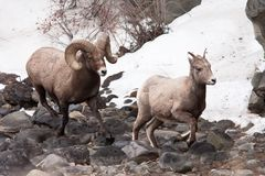 Bighorn Sheeps Stock Photo