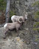 Bighorn Sheeps Royalty Free Stock Image