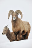bighorn sheeps Fotografia Stock