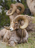 Bighorn Sheeps Stockfoto