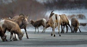 bighorn sheeps likkend zout en mineralen op een weg Stock Afbeeldingen