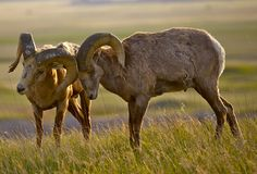 Bighorn Sheeps in Love Royalty Free Stock Photos