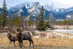 Bighorn sheep Ovis canadensis, Jasper National Park, Alberta,. Bighorn sheeps Ovis canadensis in the landscape, Jasper National Park, Alberta, Canada Royalty Free Stock Images