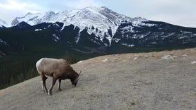 Bighorn sheeps Ovis canadensis w krajobrazie, Jaspisowy park narodowy zbiory wideo