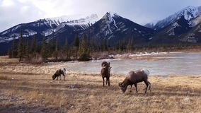 Bighorn sheeps Ovis canadensis w krajobrazie, Jaspisowy park narodowy zdjęcie wideo