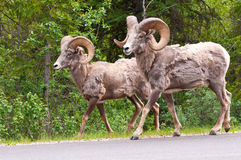 Bighorn sheeps walking Stock Image
