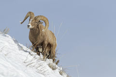 Bighorn in a slope. Bighorn sheep in Winter landscape, Yellowstone National Park royalty free stock image