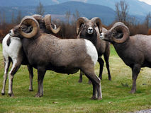 Bighorn Square Dance. This group of four Rocky Mountain Bighorn Sheep has formed their own square dance Stock Photos