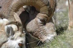 Bighorn Tight Portrait Stock Photography