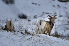 Bighorn två i steniga berg Vinter in Royaltyfri Bild