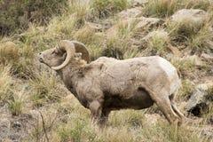 Bighorn wargi fryzowanie obrazy stock